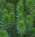 PFH Parrot's Feather (Myriophyllum aquaticum)