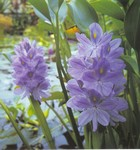 PFT Water Hyacinth (Eichhornia crassipes)