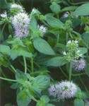PMH Aquatic Mint (Mentha aquatica)