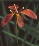 PMH Iris, Red/Copper (Iris fulva)