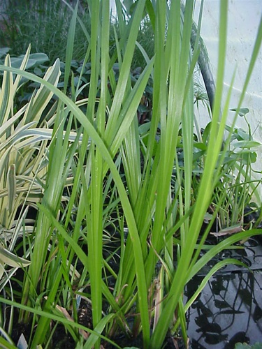Sweetflag Green Acorus calamus Marginal Bog  Acorus Calamus Plant For Sale