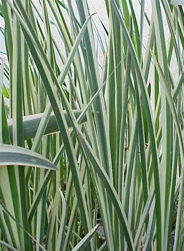 Sweetflag Variegated Acorus calamus variegatas Marginal Bog  Acorus Calamus Plant For Sale