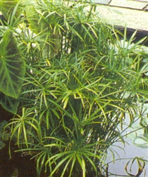 "PMT Umbrella Palm, Dwarf (Cyperus alternifolius ""Gracilis"")"