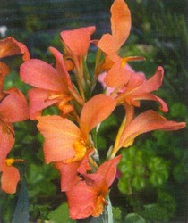 "PMT Canna ""Taney"" (Longwood Orange)"